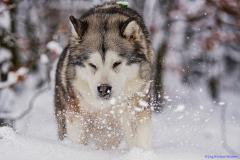 Alaskan Malamute Yokie