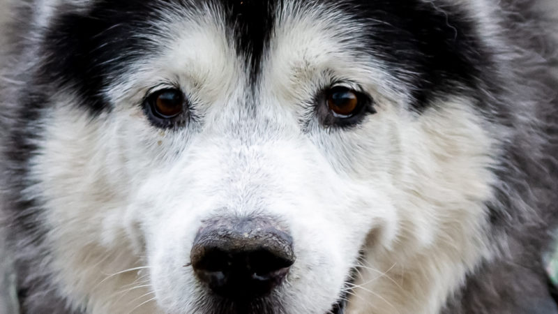 Alaskan Malamute-Husky Nimo