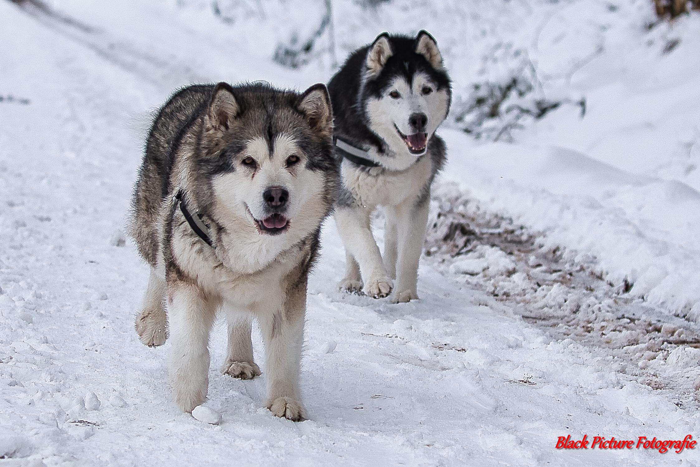 Hundefotografie, Hundeliebe, Dog, Hund, Dogphotography, Hundeleben, Dogs, Hunde, Doglover, Dogoftheday, Hundeblick, Doglife, Hundewelt, Doglove, Hundefoto, Hundemodel, Hundefreunde, Tierfotografie, Alaskan Malamute, Black Picture Fotografie